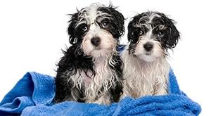 Dotjerajte ljubimca uz vrhunsku uslugu u Salonu za njegu i dotjerivanje psa Mini u Splitu! Mirišljavi od njuškice do šapice uz 2 paketa: kupanje + sušenje ili kupka + šipanje + trimanje, već od 70 kn!
